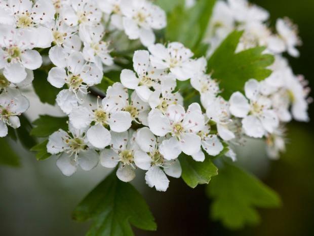 5-hawthorn-blossom-alamy.jpg