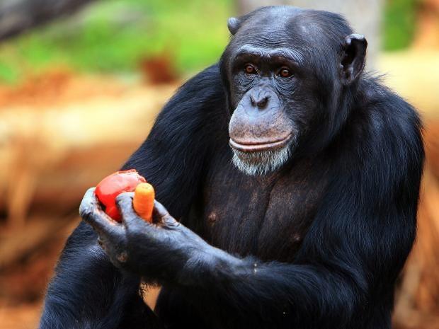 chimpanzee-getty.jpg