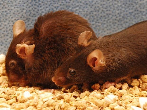 web-ageing-mice-pa.jpg