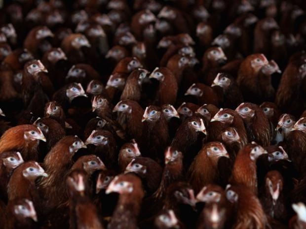 15-Poultry-Getty.jpg