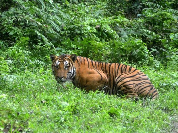 tiger-attack-nepal.jpg