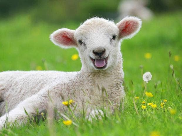 web-happy-lamb.jpg