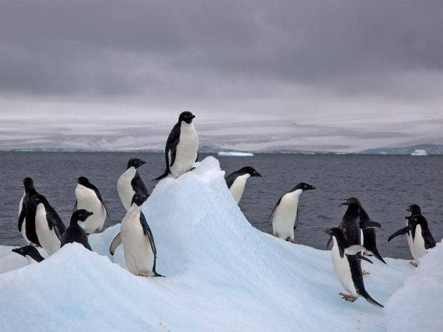 web-adelie-penguins-flickr.jpg