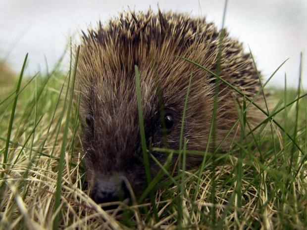 19-Hedgehog-PA.jpg