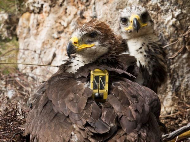 web-wildlife-crime-eagle-getty.jpg