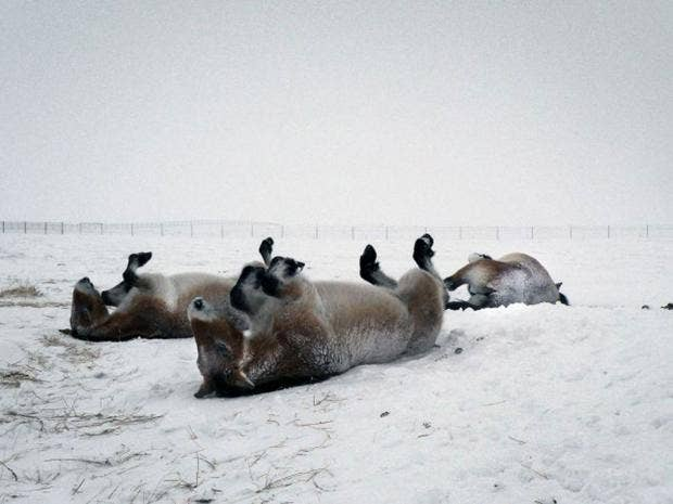 24-Przewalski-horses-1-afp.jpg