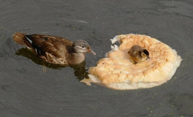 Ducks ditching bread for healthier diet after public handed loaf