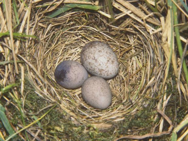 Cuckoo-egg-Rex.jpg