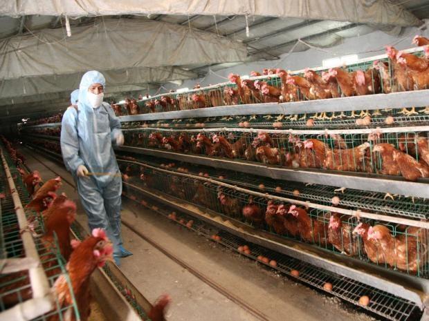 chicken-farming.jpg