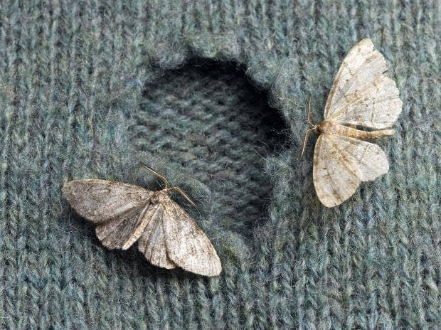 clothes-moth.jpg