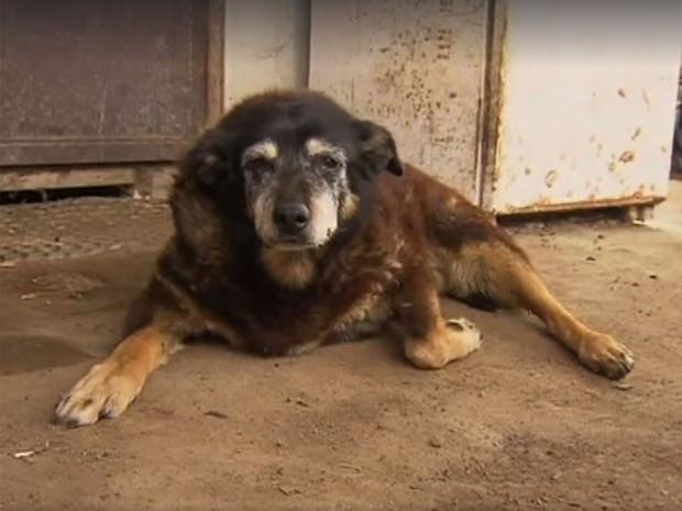maggie-the-kelpie-oldest-dog.jpg