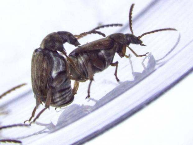 Beetle Reproduction Genes that encourage s...