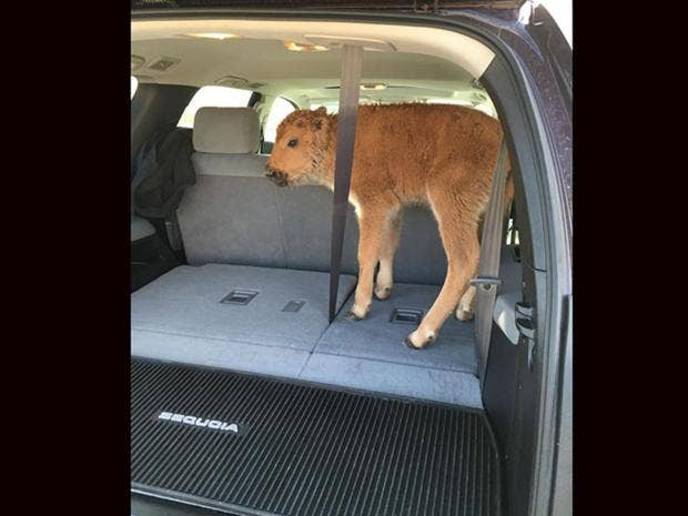 Yellowstone tourists put bison calf in car because they thought it yellowstone tourists put bison calf in car because they thought it looked cold publicscrutiny Image collections