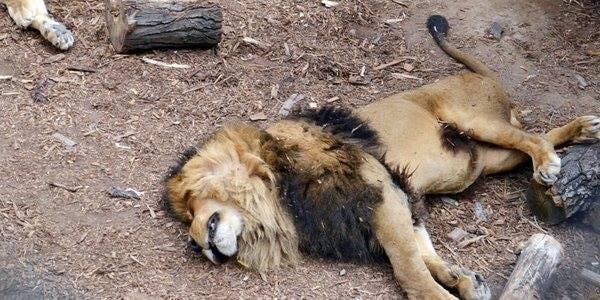 lion_dead.jpg