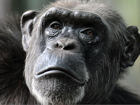 chimpanzee1.jpg