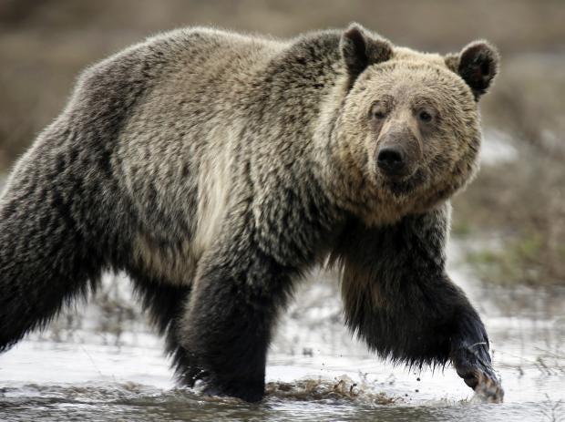 grizzly-bear-.jpg