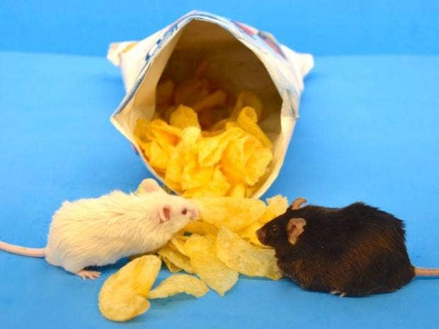 Diet success depends on your genes study finds the independent one mouse got fat while the other didnt when fed a typical western diet william barrington north carolina state university fandeluxe Image collections