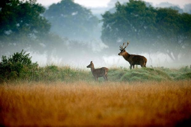 young_red_deer_stags_new_forest_hampshire.jpg