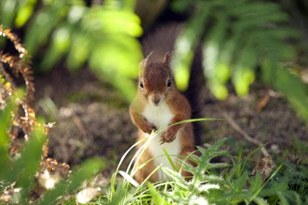 red-squirrel-on-brownsea-island-nt-images-john-millar.jpg