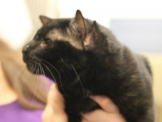 Cat Getting Bald Spots On Ears