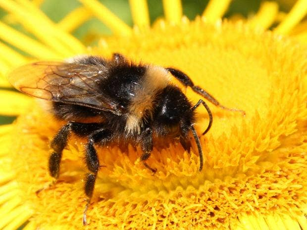 buff-tailedbumblebee-0.jpg