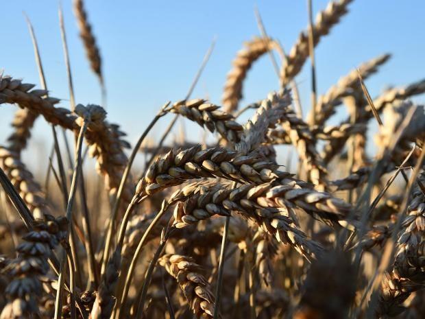 wheat-grass.jpg