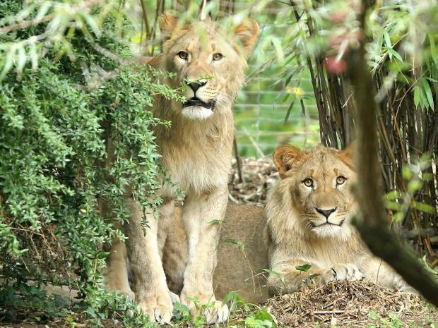 leipzig-lions.jpg