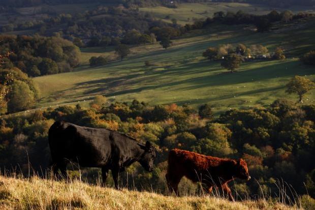 cows-field-britain-wildlife.jpg