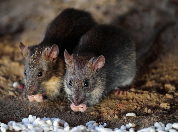getty-rats-jakarta-.jpg