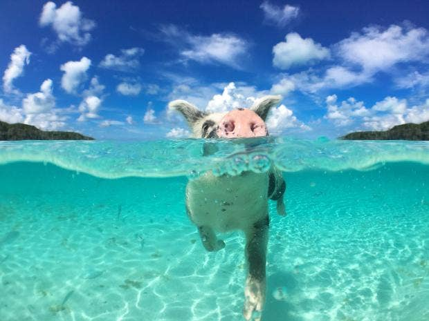 Bahamas' Swimming Pigs Dying, Probably Because of Tourists
