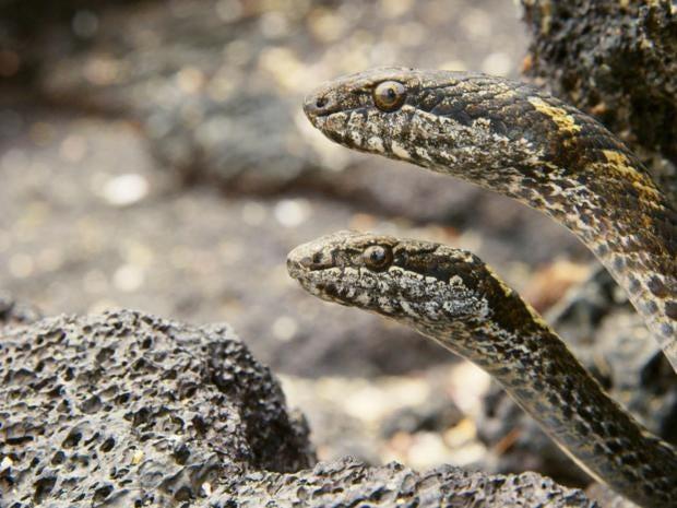 racer-snakes.jpg