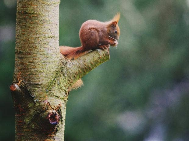 red-squirrels.jpg