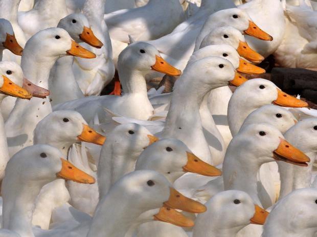 getty-duck-bird-flu-epidemic.jpg