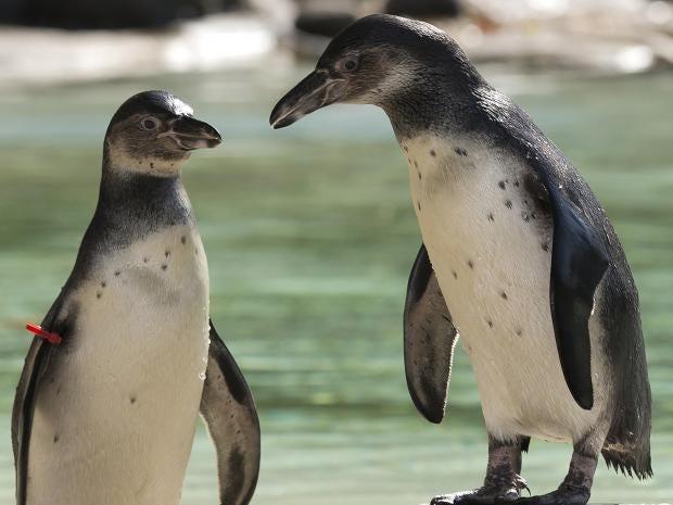 humboldt-penguins.jpg