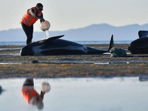 Beware exploding whales: New Zealand issues warning after mass stranding