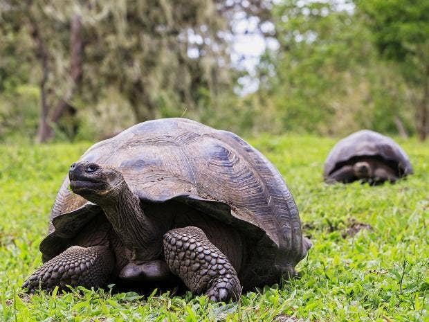 Galápagos Tortoise Facts, Pictures & Video: The World's ... |Galapagos Tortoise