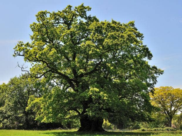 Hundreds of previously undiscovered ancient oak trees found in English countryside