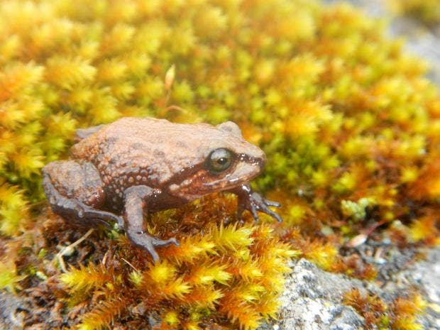 Meet the new tiny Peruvian frog named after David Attenborough