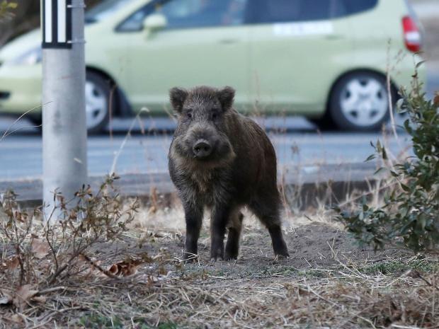 radioactive-boars-japan.jpg