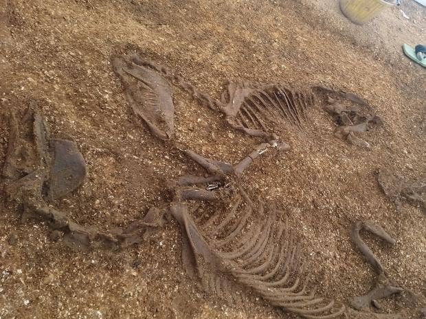 Dig reveals Iron Age horses and chariot