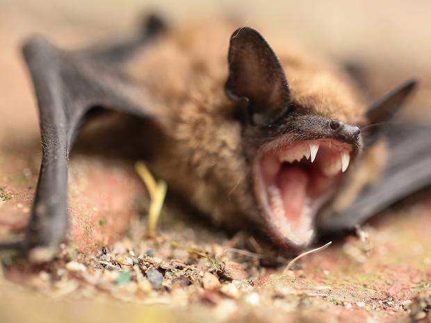 Dead Bat Found In Walmart Bagged Salad Prompts Rabies