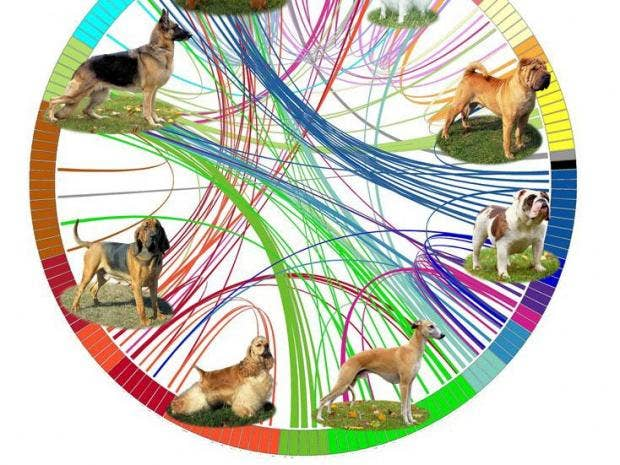 A Diagram Representing The Genetic Analysis Of Dog Breeds Nih Dog Genome Project