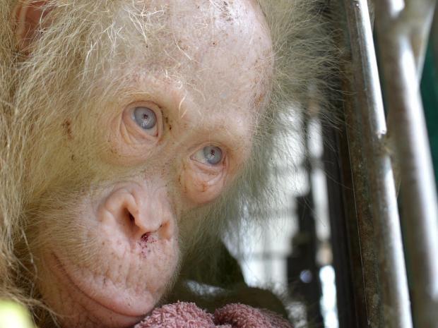 orangutan-albino.jpg