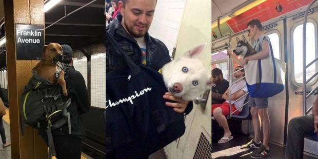 New York Subway Bans Dogs Unless They Fit In A Bag Challenge - Nyc subway bans dogs unless fit bag new yorkers reacted