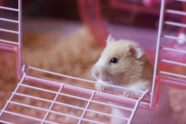 hamster-littlle-girl-sex