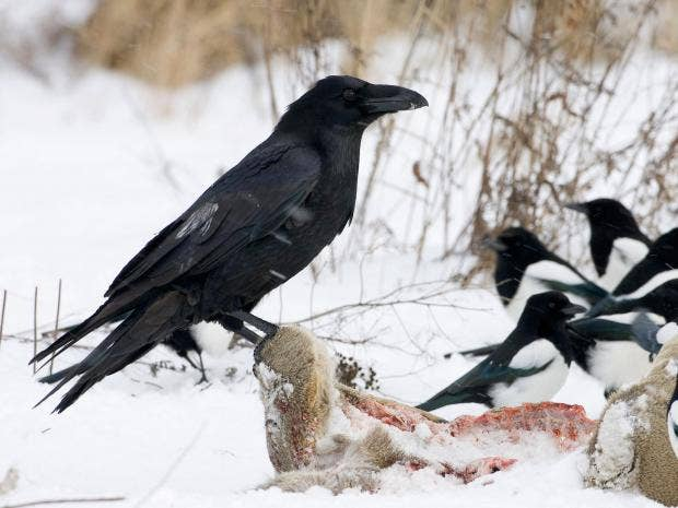 Ravens can be better at planning ahead than four year old children a raven sits on the carcass of a roe deer reuters fandeluxe Images