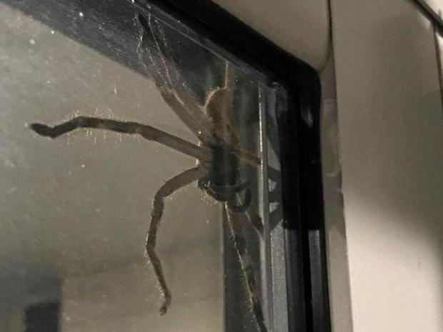 Massive And Mean Giant Huntsman Spider Traps Australian