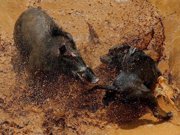 dog-vs-wild-boar.jpg