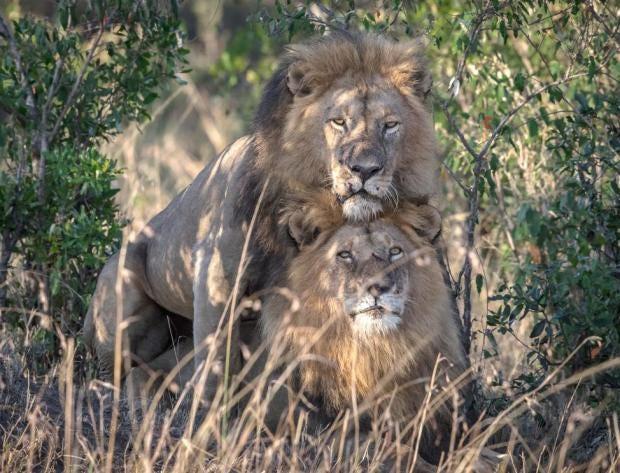 Секс девушки со львом