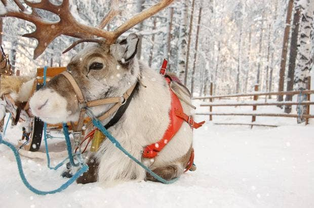 science proves santas reindeer are actually all female - Pictures Of Reindeer
